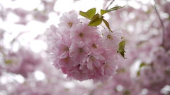 cherry(0.0), produce(0.0), food(0.0), blossom(1.0), flower(1.0), branch(1.0), lilac(1.0), macro photography(1.0), cherry blossom(1.0), spring(1.0), pink(1.0), petal(1.0),
