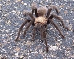 araneus(0.0), wolf spider(0.0), arthropod(1.0), animal(1.0), spider(1.0), invertebrate(1.0), fauna(1.0), tarantula(1.0),