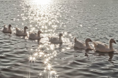 Gander at the Glimmering Gaggle of Geese