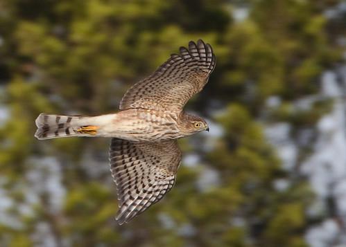 kh0831 capemay avianexcellence birdphoto bird nj