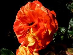 Rose Garden, Raleigh NC 6746