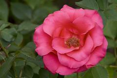 camellia sasanqua(0.0), rosa gallica(0.0), camellia japonica(0.0), garden roses(1.0), rosa 㗠centifolia(1.0), floribunda(1.0), flower(1.0), plant(1.0), flora(1.0), pink(1.0), petal(1.0),