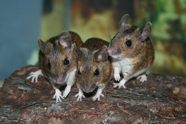 Field Mice, The* Field Mice - For Keeps