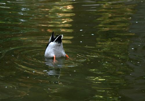 Buceo. Pato pescando en un estanque del Alcázar. Sevilla