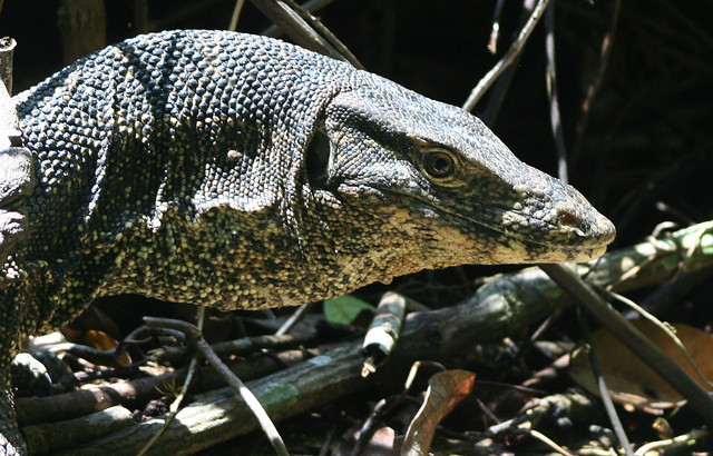 Komodo Dragon - well actually a water monitor (varanus ...