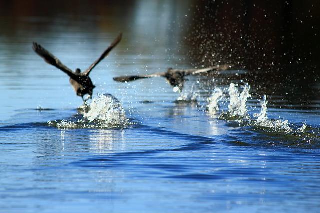 Patos sobre el agua en Ouachita National Wildlife Refuge, Luisiana, Estados Unidos