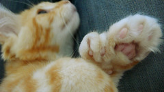 polydactyl cats its time to talk toes playful kitty