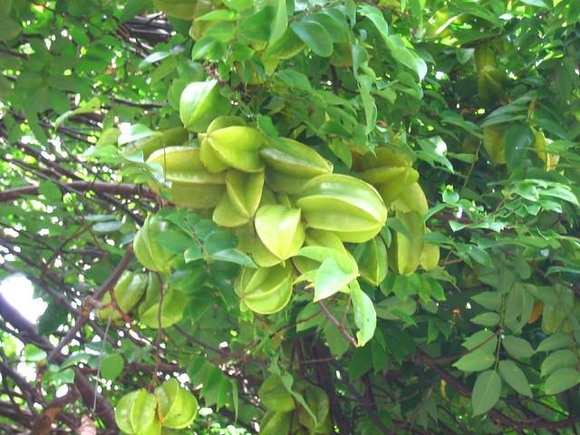 star fruit tree | Flickr - Photo Sharing!
