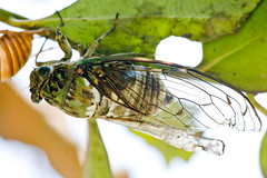 arthropod, animal, wing, organism, invertebrate, insect, macro photography, green, fauna, close-up, net winged insects,