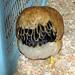 Small photo of Brahman Chicken