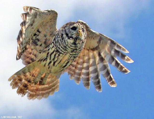 Barred Owl in Flight by Jim Sullivan