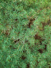 Fir Leaves Texture