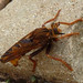 Small photo of Asilus crabroniformis.