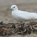Ivory Gull - Photo (c) Blake Matheson, some rights reserved (CC BY-NC)