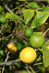 calamondin, citrus, branch, yellow, tree, plant, key lime, meyer lemon, persian lime, yuzu, flora, green, produce, fruit, food, sweet lemon, bitter orange, citron, lime,