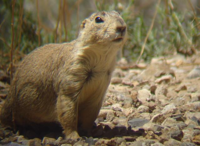 Gunnison's Prairie Dog   Flickr - Photo Sharing!