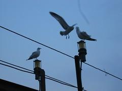 Sea gulls...