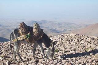 1276. Donkey. Sahand Mountains