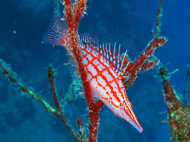 Oxycirrhites typus en los arrecifes coralinos del Mar Rojo.
