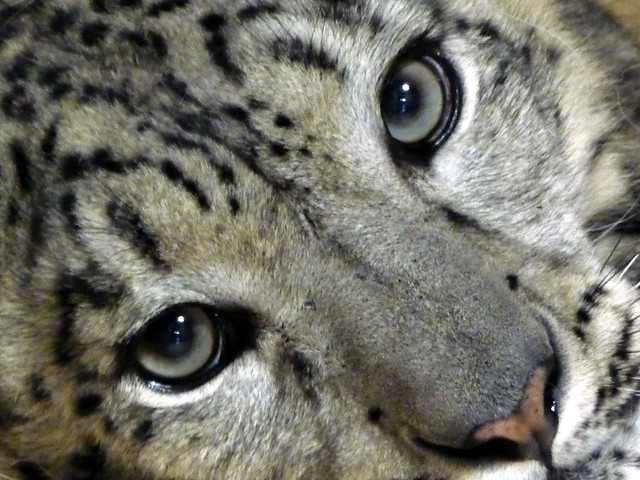 snow leopards in natural seclection Evolution of the snow leopard through natural selection -the snow leopard will adapt to the presence of herders and poachers and mining operations in.