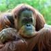Orangutan by pandacute