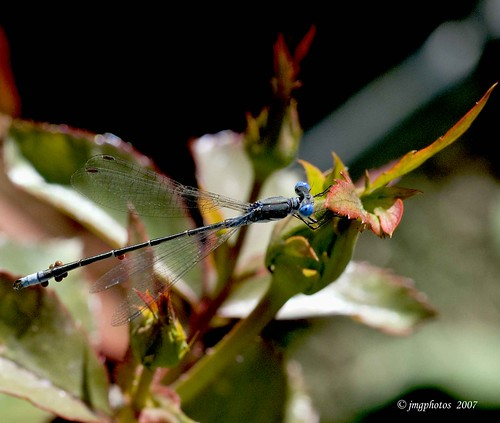 Common Spreadwing, (thanks Jayne),  Hard to Catch