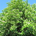 Small photo of White horse chestnut (Aesculus hippocastanum""