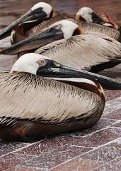 brown pelicans. white poop.