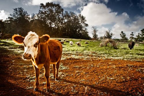 baby landscape hawaii cow sheep maui pasture calf olinda upcountry