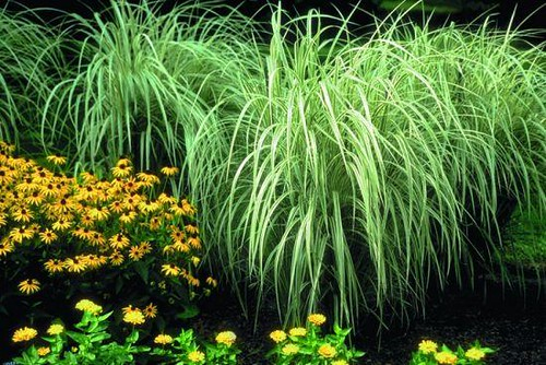 Japanese silver grass variegated flickr photo sharing for Tall oriental grass