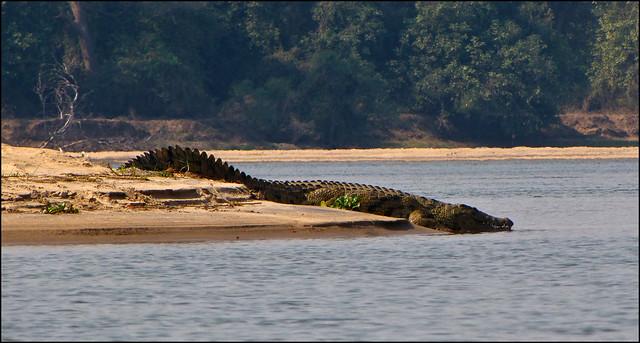 Questões e Fatos sobre Crocodilianos gigantes: Transferência de debate da comunidade Conflitos Selvagens.  - Página 2 5145848425_68a94d139a_z