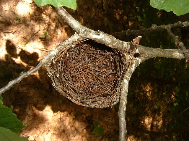Red eyed vireo nest - photo#42