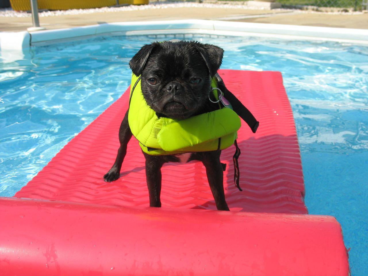 Dog wearing life jacket to safe swim