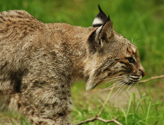 wild cat or Bobcat   Flickr - Photo Sharing!