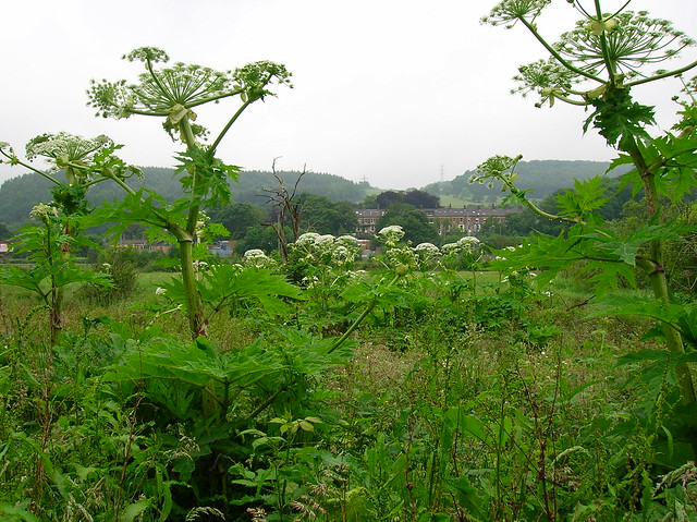 Day of the Triffids - Giant Hogweed