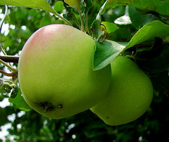 branch, tree, flora, green, fruit, granny smith, apple,