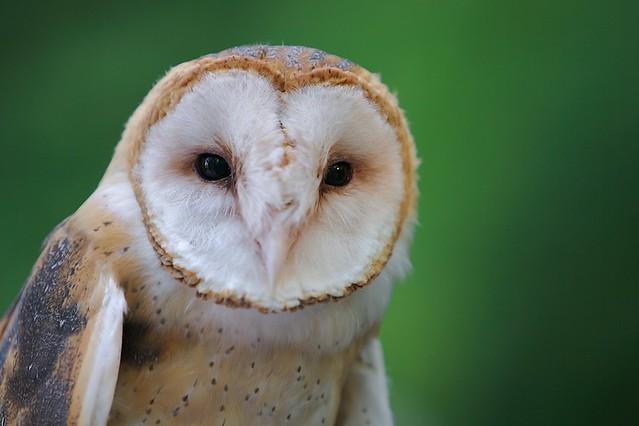 Barn Owl Head On Flickr Photo Sharing