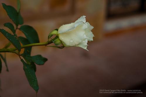 Rosa blanca y lluvia. Fin de Semana Casa Rural en Los Cortijos y su entorno