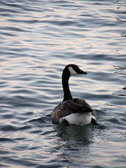 animal, water bird, duck, wing, water, sea, fauna, reflection, mergus, seaduck, beak, bird, wildlife,