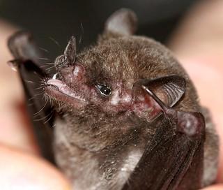 Cute Little Bat