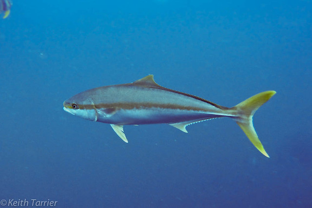Yellow tail jack fish flickr photo sharing for What is a jack fish
