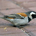 Cape sparrow (Passer melanurus)(Male)