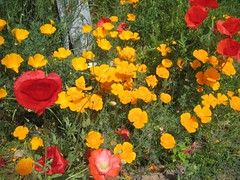 annual plant, eschscholzia californica, flower, yellow, plant, herb, wildflower, flora, coquelicot, meadow, petal, poppy,