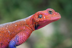 african chameleon(0.0), beak(0.0), agama(1.0), animal(1.0), reptile(1.0), lizard(1.0), macro photography(1.0), fauna(1.0), close-up(1.0), dactyloidae(1.0), agamidae(1.0), scaled reptile(1.0), chameleon(1.0),