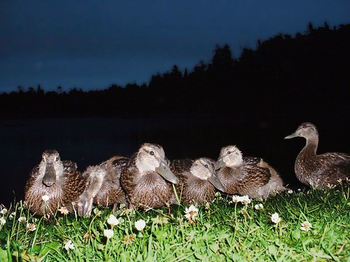 duck duckling ducks ducklings