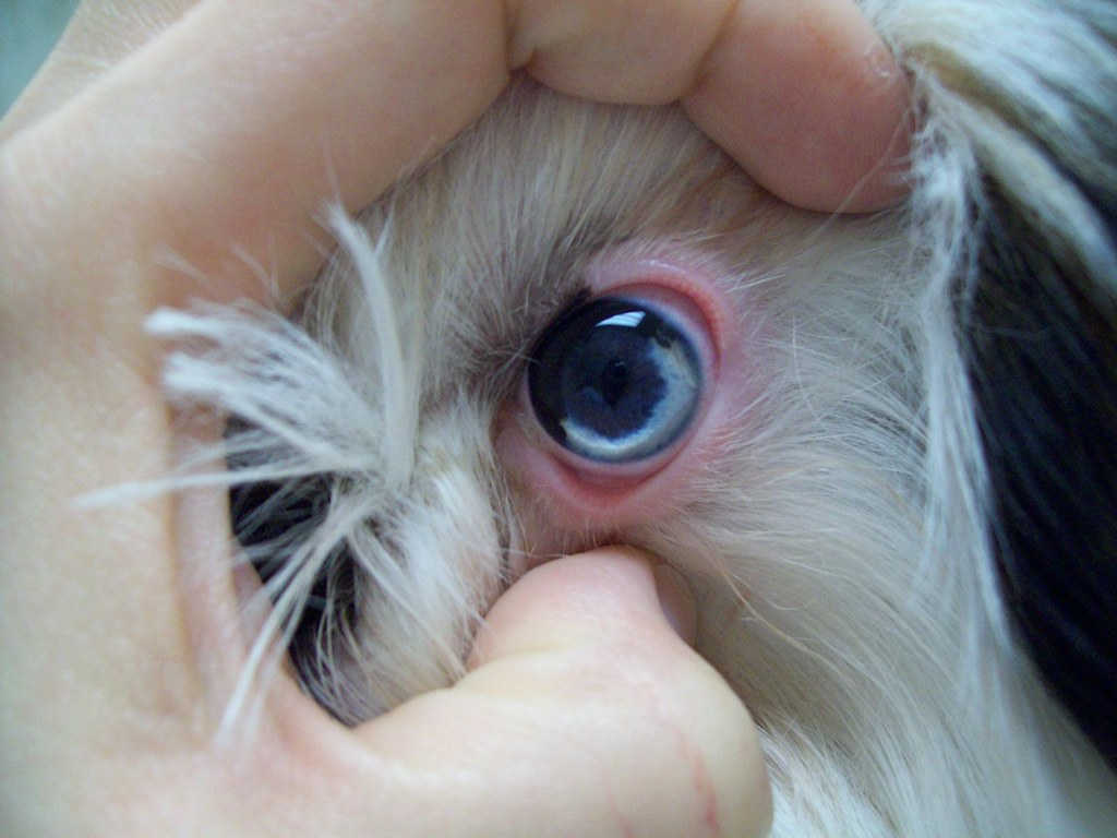 Interesting Coloration Of The Eye In A Shih Tzu Puppy A Photo On