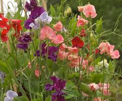 snapdragon(0.0), annual plant(1.0), flower(1.0), plant(1.0), wildflower(1.0), flora(1.0), lathyrus latifolius(1.0),