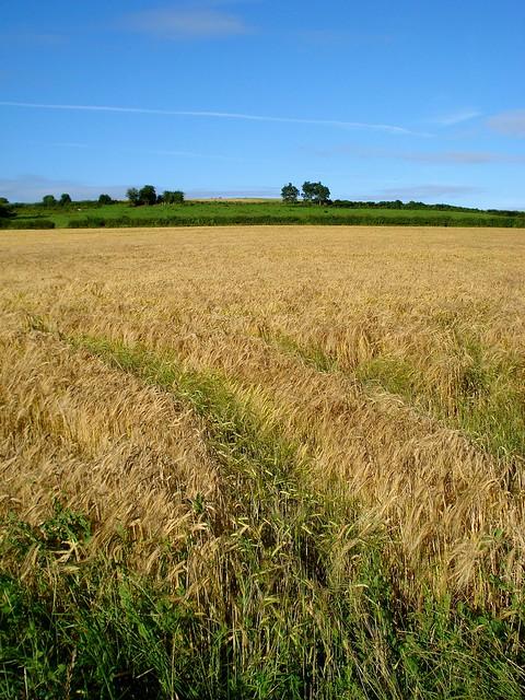 barley fields by nitrok - photo #25