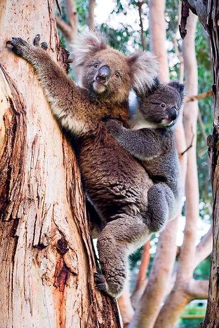 Have Koalas Ever Been Found On King Island