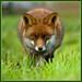 Fox by tonvandeacker